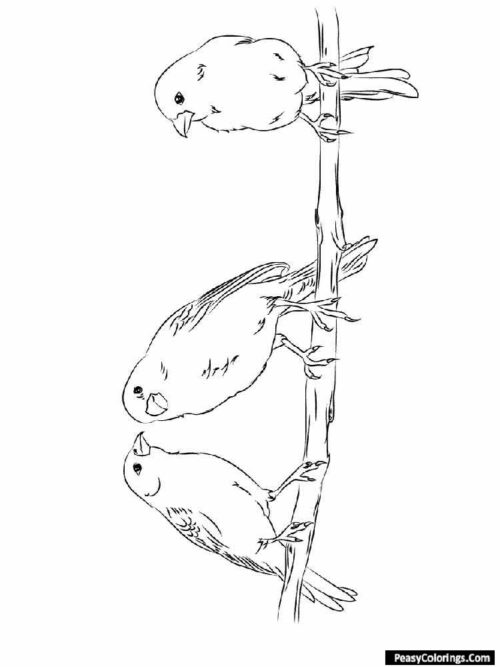 Three canaries coloring pages