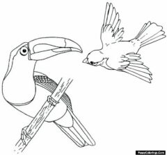 beautiful toucan coloring page