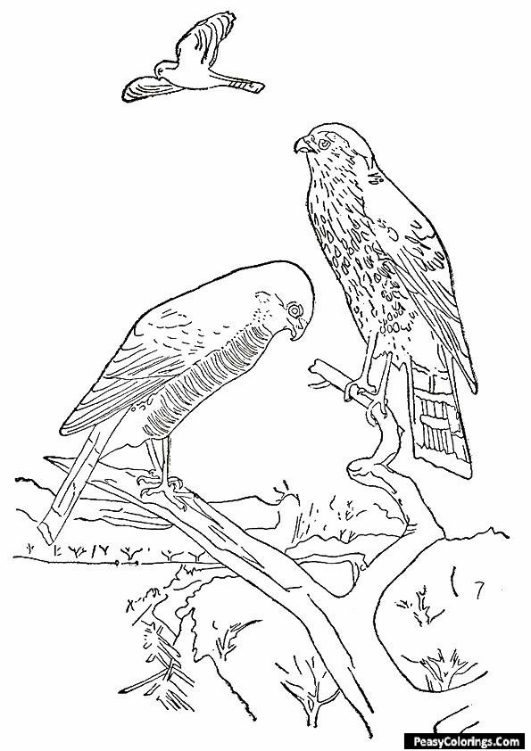 hawk on a branch coloring page